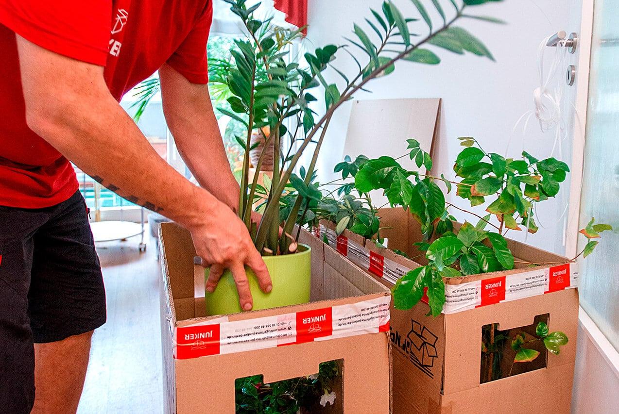 Junker Umzüge Berlin - Wohnungsumzug - Pflanzentransport in den Umzugskartons